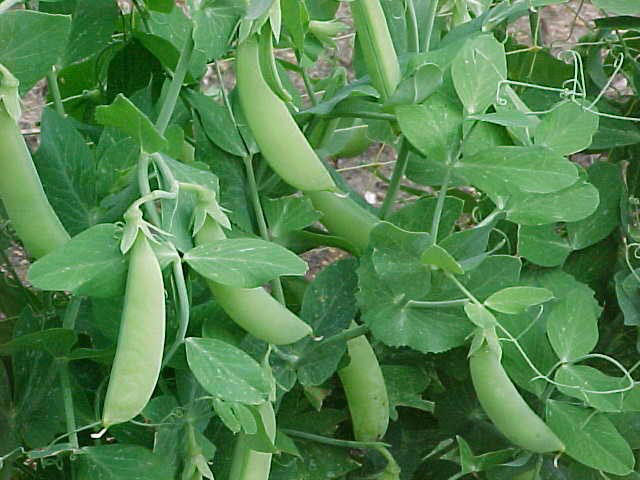 A question about pea protein…